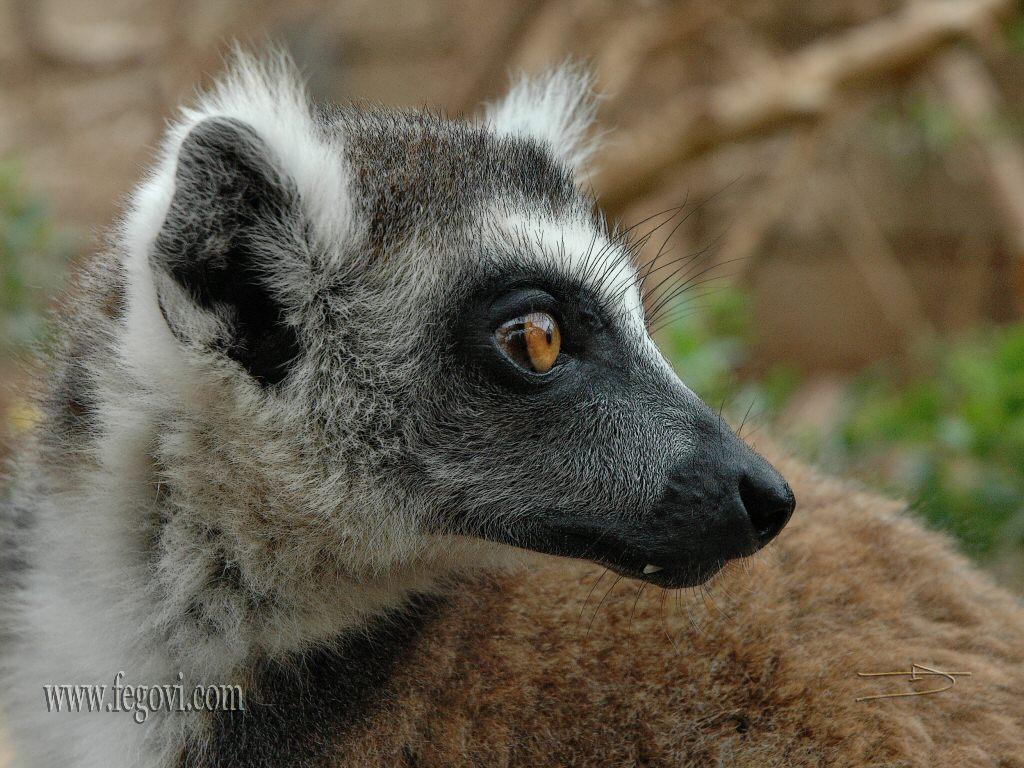 Lemur 5