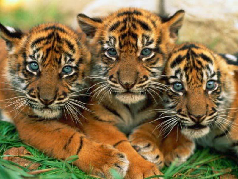 Tiger 16